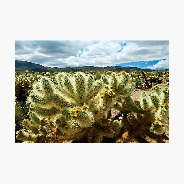 Cholla Cactus  Photographic Print