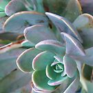 Thirsty Succulent by Charlotte Morison