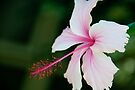 Pale Pink Hibiscus by Extraordinary Light