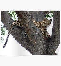 Leopard protecting her kill Poster
