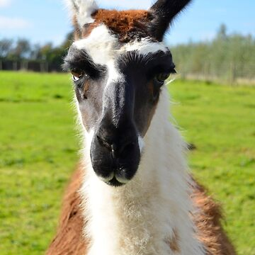 Humorous Portrait of Common Ccara Llama Face by HotHibiscus
