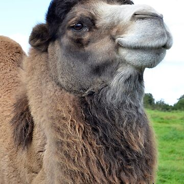 Comical Smiling Bactrian Camel Face by HotHibiscus