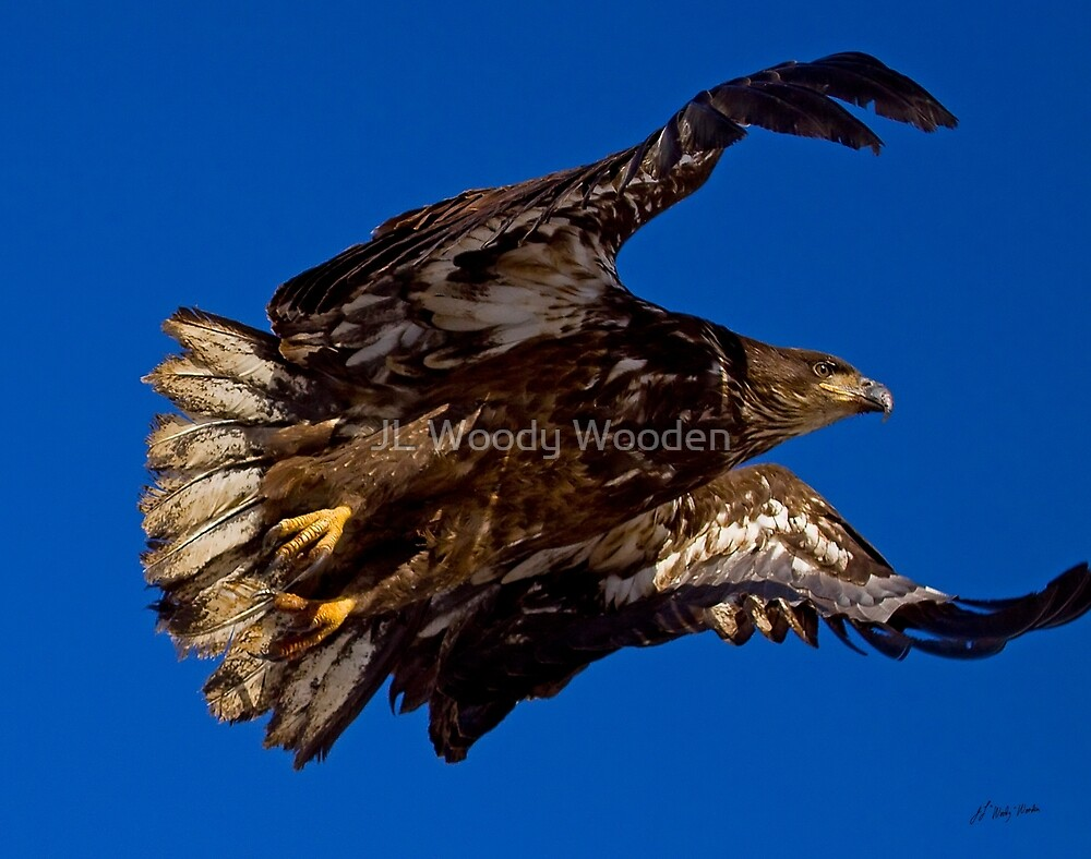 Golden Eagle Lift Off. by JL Woody Wooden