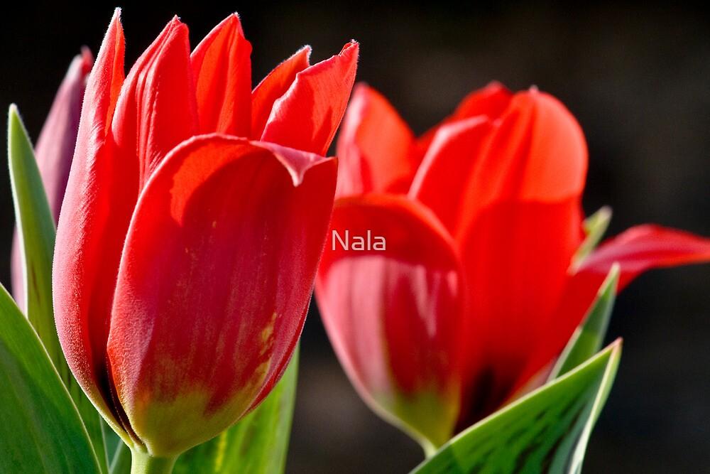 Tulip - April  by Nala