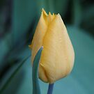 Tulip in the blue's by Adair  Davidson