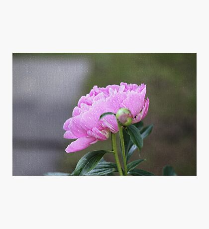 Pink Peony Faux Painting Photographic Print
