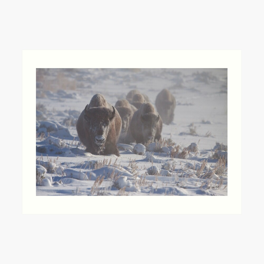 Buffalo In The Fog   #6995 Lámina artística