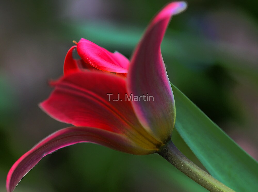 Tulip - Just Before Sunset -- Bridgton,  maine by T.J. Martin