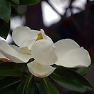 Magnolia by Anne Smyth