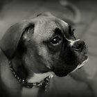 A Boxer's  Profile ~ Boxer Dogs Series by Evita