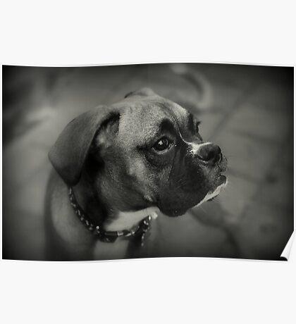 Eine Boxer-Profil ~ Boxer Dogs-Serie Poster