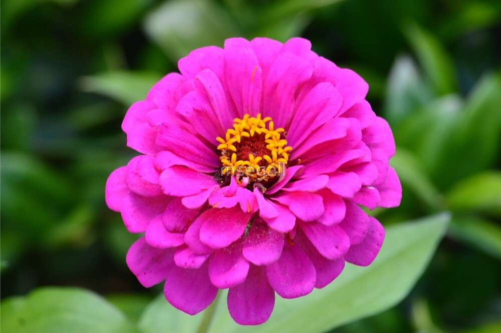 Zinnia at Gibbs Gardens by msegall