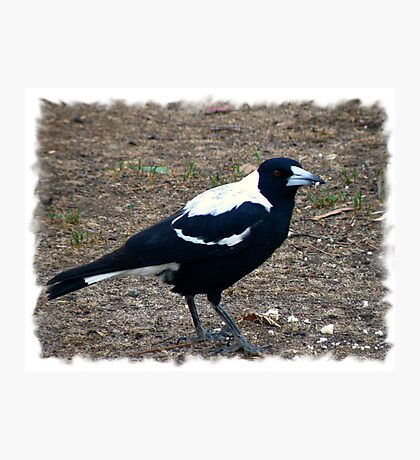 Our Little Aussie Magpie Photographic Print