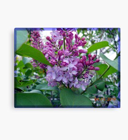 Lilacs again Canvas Print