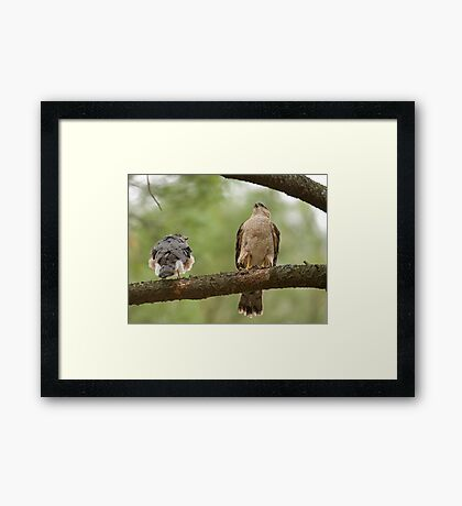 Cooper's Hawk Pair Framed Print