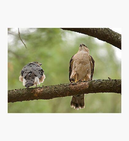 Cooper's Hawk Pair Photographic Print