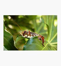 Weta, native New Zealand grasshopper Photographic Print