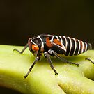Gum Leafhopper Nymph - Eurymeloides punctata by Andrew Trevor-Jones