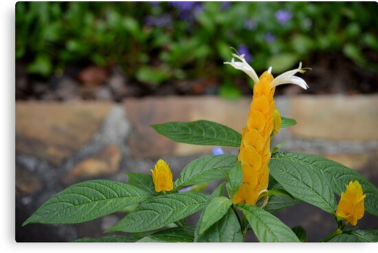 Golden Shrimp Plant Trio by msegall