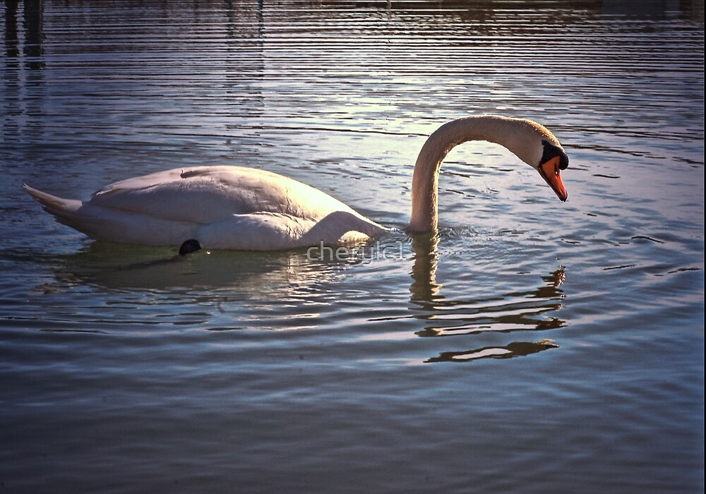 Swan reflections by cherylc1