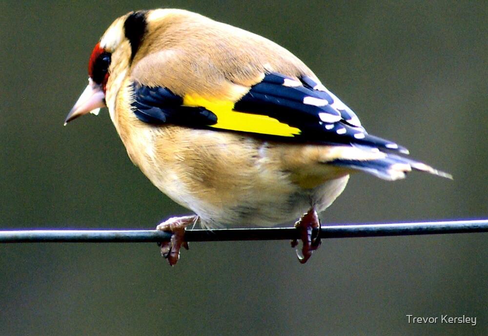 Goldfinch by Trevor Kersley