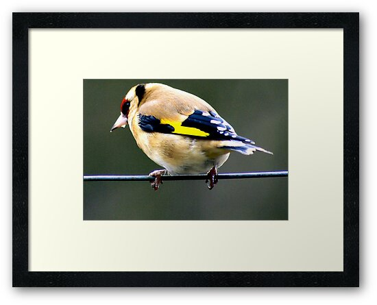 Goldfinch by Trevor Kersley