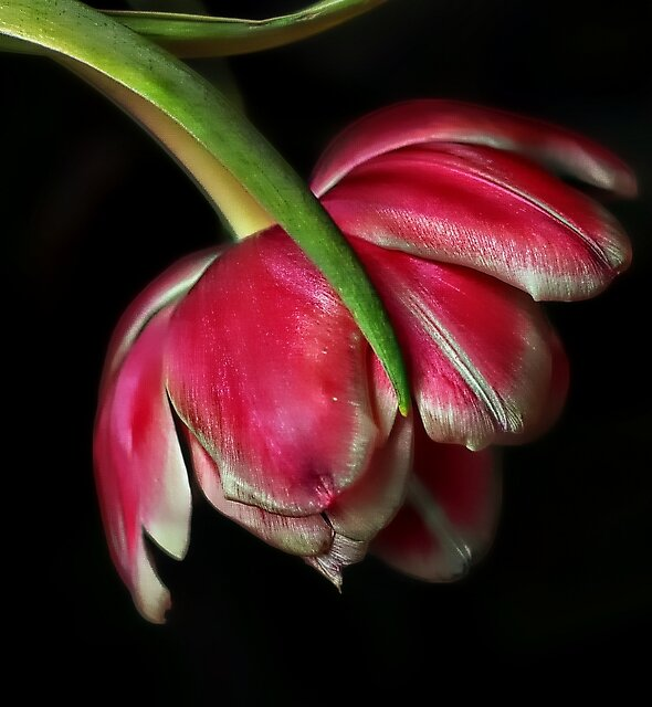 tulips from holland by YvonneBlokland