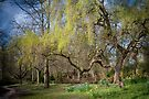 Weeping Willow in Spring by DonDavisUK