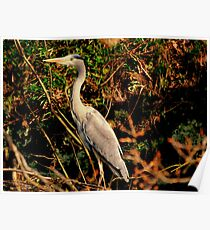 Heron on Canal Bank Poster