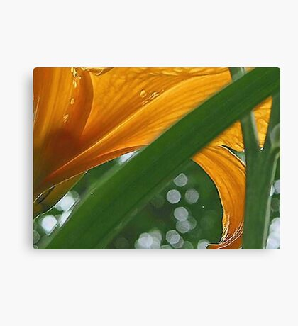 Lily with Raindrops - Bridgton,  Maine Canvas Print