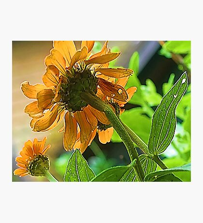 --Orange Zinnia - Afternoon Sun -- Bridgton,  Maine Photographic Print