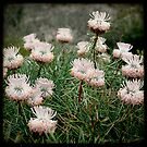 Pink  coneflower by Miriam Shilling