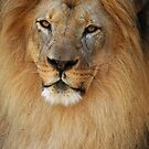 African Lion 1 by John Caddell