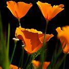 California Poppy 5 by John Caddell