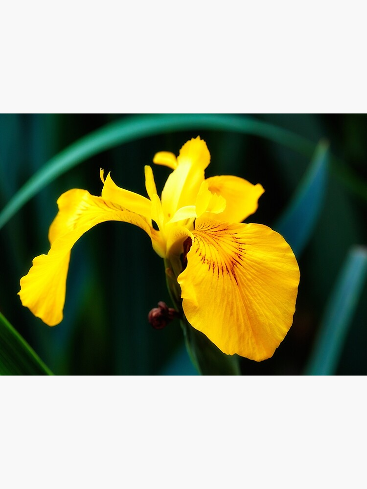 Yellow lily flower by fardad