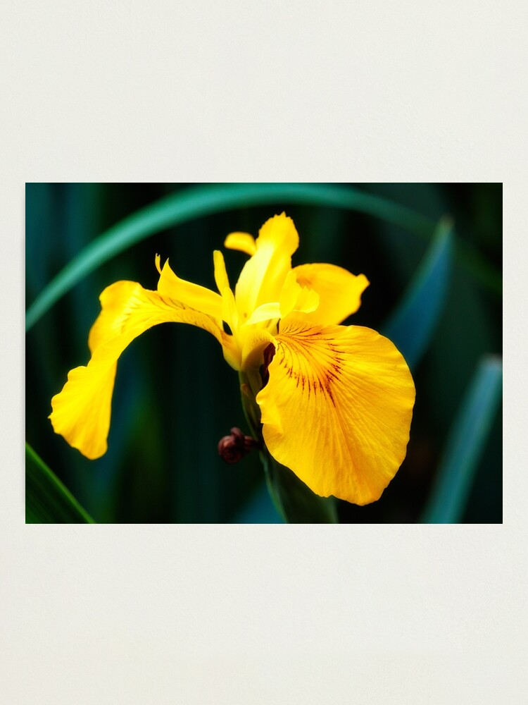 Alternate view of Yellow lily flower Photographic Print