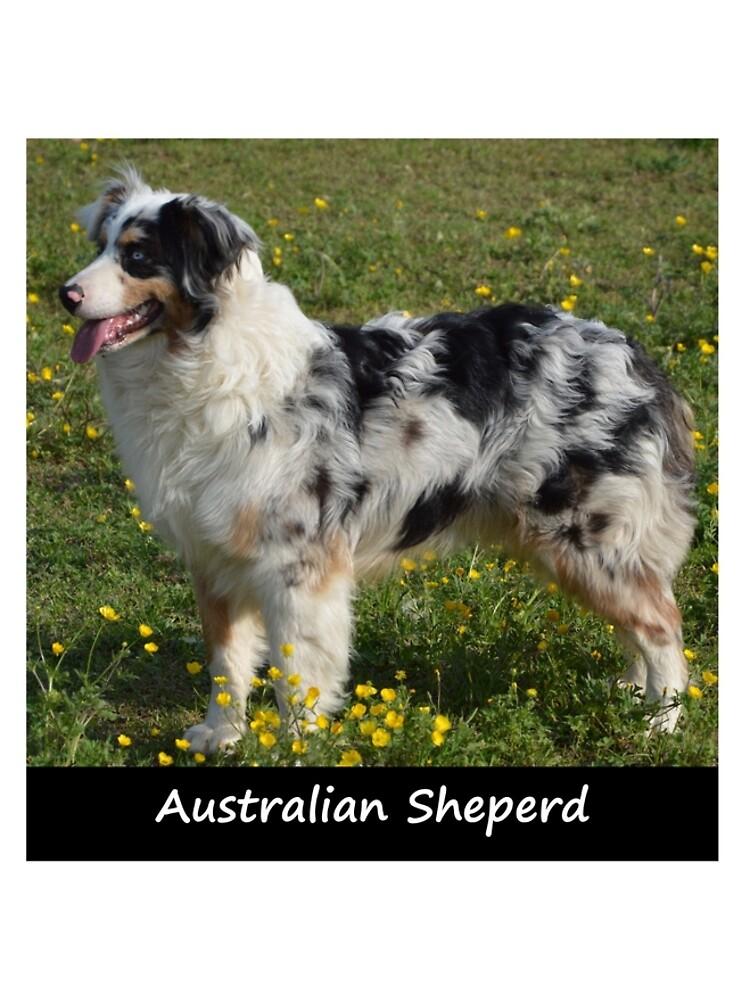 Australian Sheperd by Fjfichman