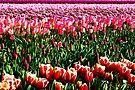Splendid Springtime Tulips by Tori Snow