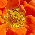 Heart Of Orange Rose by Joy Watson