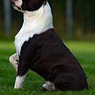 Boston Terrier by Fjfichman
