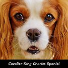 Cavalier King Charles Spaniel by Fjfichman