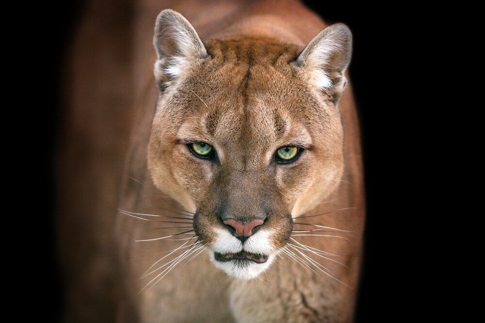Cougar by Fjfichman