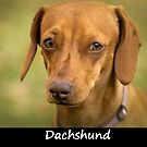 Dachshund by Fjfichman