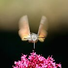 Beating Wings, Hawkmoth, Castiglioncello del Trinoro, Tuscany, Italy by Andrew Jones
