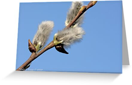 Pussywillow against a blue sky by pogomcl