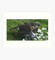 disloged pigeon loses out again Art Print