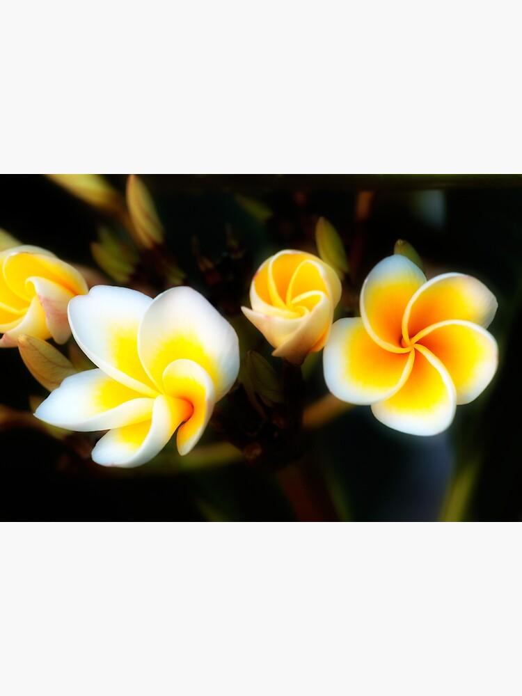 Frangipani Flowers by fardad