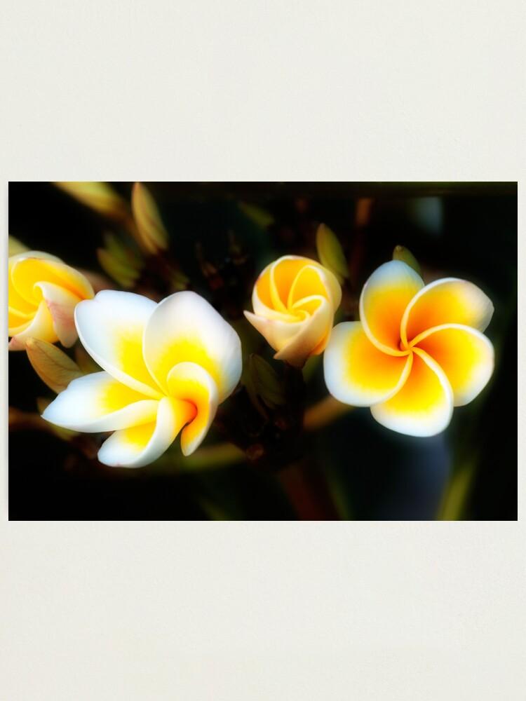 Alternate view of Frangipani Flowers Photographic Print