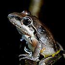 Broad Palmed Frog - Litoria latopalmata  by Normf