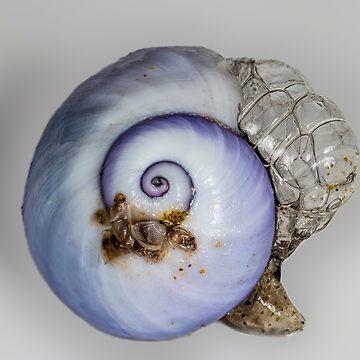 Violet snail (Janthina janthina) 2 by Normf